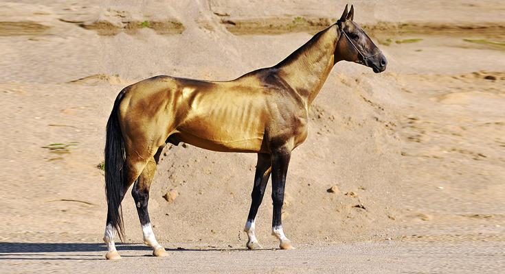 Experience the Akhaltek Horses