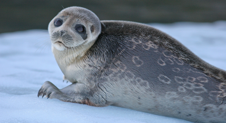 Go and See One of The Rarest Seals in The World